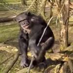 chimp drone