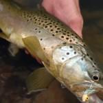 Montana Brown Trout