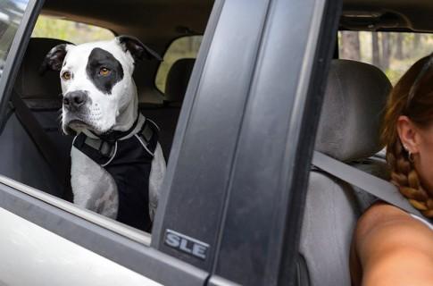 dog-seatbelt