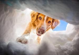 ski-patrol-dog