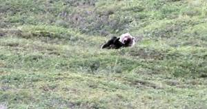 grizzley rolls down hill